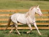 Португалия. Лошади породы Лузитано (1)