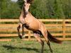 Португалия. Лошади породы Лузитано (2)