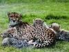 Ботсвана. Заповедник гепардов -1