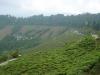 Индия. Чайные плантации в Дарджиллинг (1)