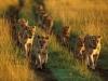 Кения. Национальный заповедник Масаи-Мара (1)
