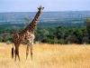 Кения. Национальный заповедник Масаи-Мара (3)