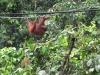 Малайзия. Центр реабилитации орангутангов Сепилок (2)