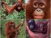 Малайзия. Центр реабилитации орангутангов Сепилок (3)