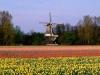 Нидерланды. Кёкенхоф (2)