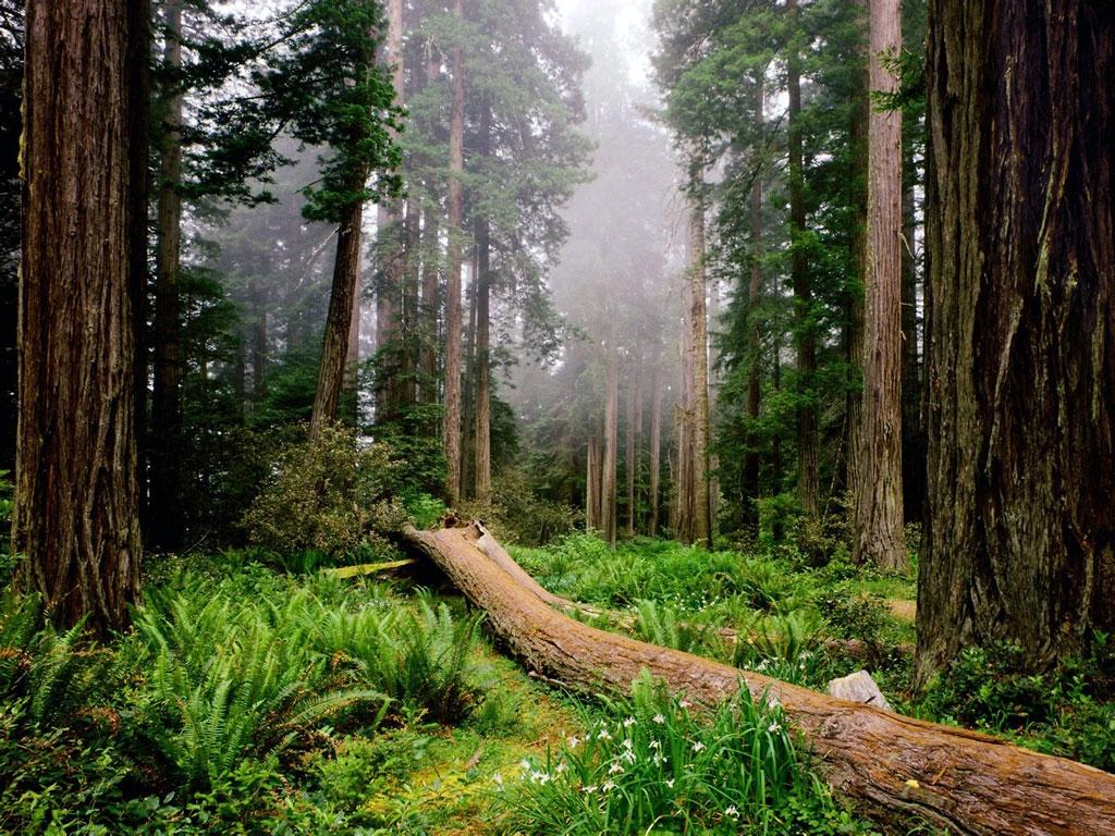 Обои сша, туман, национальный парк редвуд, калифорния. Природа foto 13